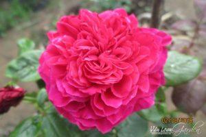 hoa-hong-tuong-vy-sa-dec-2-vuonhongvanloan.com_-300x200.jpg